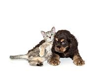 Spaniel Framed Prints - Very Sweet Kitten Lying On Puppy Framed Print by StockImage