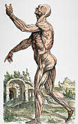 Diagram Art - Vesalius: Muscles 02, 1543 by Granger