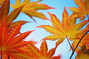 Christina  Kilgour - Vibrant Acer Leaves...