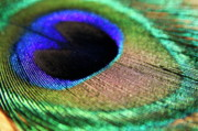 Sami Sarkis Photo Posters - Vibrant colours of a peacock feather Poster by Sami Sarkis