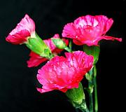Flower Digital Art Originals - Vibrant Pink Carnations. by Terence Davis