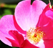 Nature Photography - Vibrant Pink of Summer by Cathie Tyler