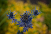 Thistle Photos - Vibrant Thistles by Mike Reid