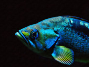 Colorful Tropical Fish  Photos - Vibrant Tropical Fish by Marion McCristall