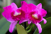 Vibrant Violet Orchids Print by Linda Phelps