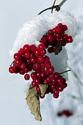 Elena Filatova - Viburnum berries covered...
