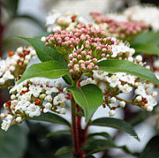 Winter Flowers Prints - Viburnum tinus Spring Bouquet Print by Suzanne Gaff