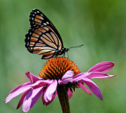 Coneflower Prints - Viceroy Butterfly Print by © Jen St. Louis Photography