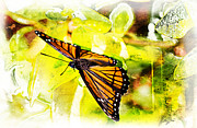 Barry Jones - Viceroy Butterfly