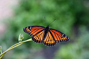 Paula Tohline Calhoun Framed Prints - Viceroy Butterfly Number One Framed Print by Paula Tohline Calhoun