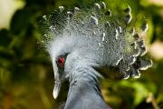 Animal Portraits Art - Victoria Crowned Pigeon Goura Victoria by Tim Laman