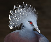 Crowned Head Posters - Victoria Crowned Pigeon Poster by MiracleOfCreation