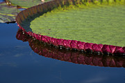 Waterlily Art - Victoria by Heiko Koehrer-Wagner