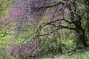 Spring Scenes Metal Prints - View Of A Blooming Redbud Tree Metal Print by Darlyne A. Murawski