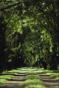 Dirt Roads Photos - View Of A Dirt Road Under A Canopy by Anne Keiser