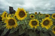 North Dakota Prints - View Of A Field Of Sunflowers Print by Annie Griffiths