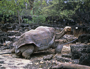 Galapagos Islands Posters - View Of A Giant Galapagos Tortoise, Testudo Sp. Poster by Dr Morley Read