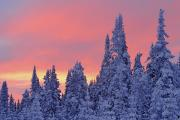 Evergreen Trees Posters - View Of Snow-covered Trees And Sky Poster by Yves Marcoux