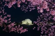 Cherry Blossoms Posters - View Of The Jefferson Memorial Poster by Kenneth Garrett