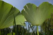 Aquatic Plants Posters - View Of The Underside Of Lotus Water Poster by Paul Sutherland