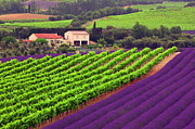 Provence Digital Art Originals - Vignes et Lavande by John Galbo