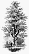 Pecan Framed Prints - Villeres Pecan-tree, 1862 Framed Print by Granger