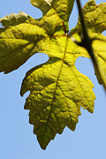 Winemaking Posters - Vine leaf against blue sky Poster by Sami Sarkis