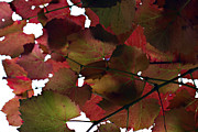 Vine Grapes Framed Prints - Vine Leaves Framed Print by Douglas Barnard