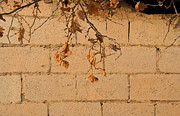 Saajid Abuluaih - Vine Leaves on a wall
