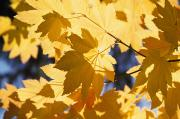 Vine Leaves Posters - Vine Maples Leaves In Autumn Poster by Natural Selection Craig Tuttle