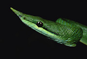 Snake Head Framed Prints - Vine Snake Natrix Trianguligera Face Framed Print by Mark Moffett