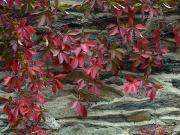 Clinging Posters - Vine With Red Leaves Clings To A Stone Poster by O. Louis Mazzatenta