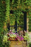 Vines Growing On A Wall And Flowers Print by David Chapman