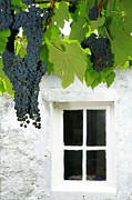 Growing Grapes Prints - Vines in the backyard Print by Gaspar Avila