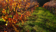 Autumn In The Country Prints - Vineyard 13 Print by Xueling Zou