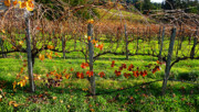 Autumn In The Country Framed Prints - Vineyard 14 Framed Print by Xueling Zou