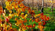 Winery Photography Prints - Vineyard 17 Print by Xueling Zou