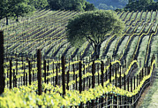 Napa Valley Vineyard Prints - Vineyard Print by Alan Sirulnikoff