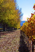 Vineyard Photos - Vineyard Alley by Viktor Savchenko
