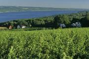 Vineyards Photos - Vineyard Along The Finger Lakes by Kenneth Garrett
