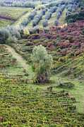 Grapevines Photos - Vineyard and Olive Grove by Jeremy Woodhouse