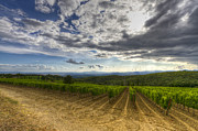 Sangiovese Prints - Vineyard Print by Andreas Jancso