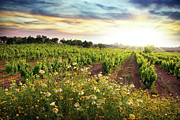 Dawn Posters - Vineyard Poster by Carlos Caetano