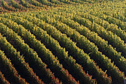 Wine Vineyard Photos - Vineyard by David Nunuk