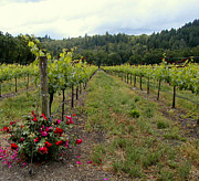 Grapevines Photos - Vineyard by Donna Spadola