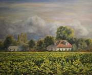 Vineyard Fog Santa Rosa Print by Edward White
