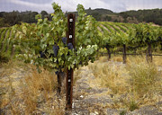 California Vineyard Posters - Vineyard Grapes II Poster by Sharon Foster