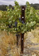 California Vineyard Posters - Vineyard Grapes Poster by Sharon Foster