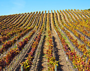 Grapevines Photos - Vineyard in Autumn by David Buffington