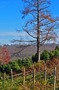 Wine Vineyard Photos - Vineyard in Fall by Peter  McIntosh